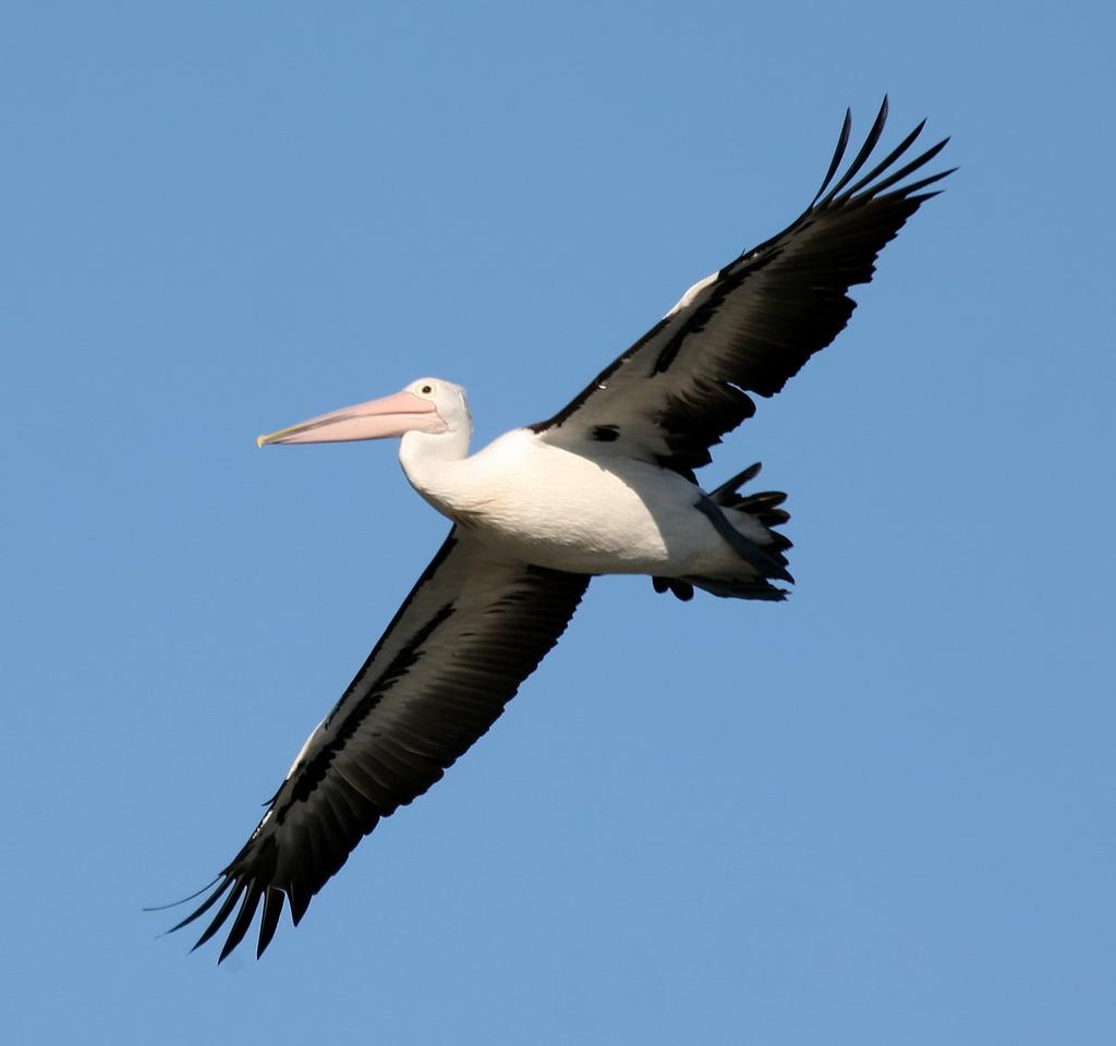 Choppe un Pelican et réalise des blogs html rapidement.